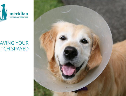 Having Your Bitch Spayed